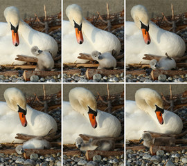 Combination of pictures shows a newly born cygnet falling in front of its pen, by the female swan, early morning at Bains des Paquis in Geneva