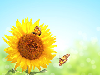Wall Mural - Sunflowers and two butterflies on blurred sunny background