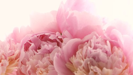 Fotoväggar - Beautiful pink peony flowers opening on white background. Blooming bouquet of peony flowers opening close up. Timelapse 4K UHD video footage. 3840X2160