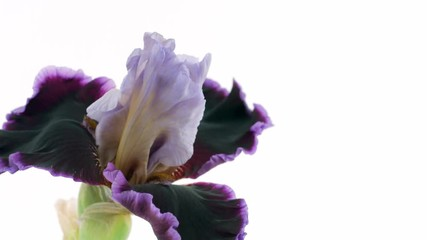 Fotoväggar - Beautiful dark violet Iris flower bud blooming timelapse, extreme closeup. Fresh Iris opening closeup isolated on white background. 4K UHD video footage. 3840X2160