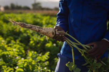 Farmer holding harvested radish on a sunny day
