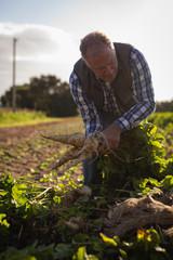 Senior male farmer holding harvested radish on a sunny day