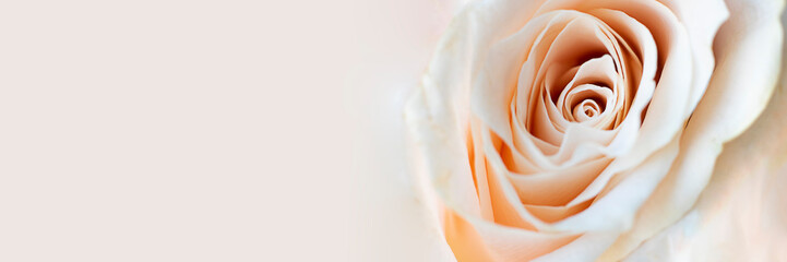 Close up view of a beautiful white rose with pastel pink tint. Macro image of white rose. Fresh beautiful flower as expression of love and respect for postcard, wallpaper. Horizontal banner copy space