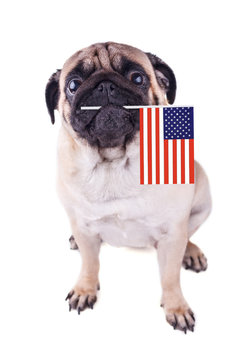 Portrait of a pug dog with flag of USA in the mouth.