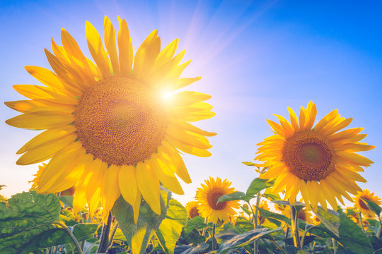 Sunflowers or helianthus at sunset, field of beautiful yellow flowers in sunshine against a blue sky and sun with rays, nature photography suitable for wallpaper or desktop background