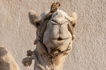 Portrait of a dromedary camel with head collar.
