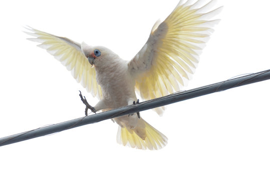 Bird in a wire isolated on a white background. Image of a white cockatoo just about to land on an overhead wire with wings open and claws ready to latch on. Some say cockatoos are a pest