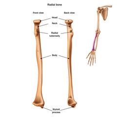 The structure of the radial bone with the name and description of all sites. Back and front view. Human anatomy.