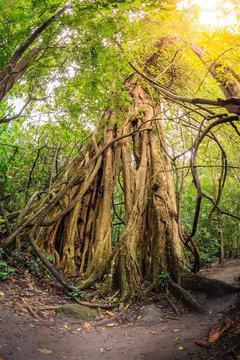 Strangler fig tree in tropical forest