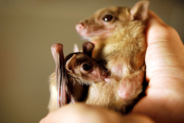 An Egyptian fruit-bat pup suckles from its mother during an interview with Reuters at a laboratory in the Steinhardt Museum of Natural History in Tel Aviv, Israel