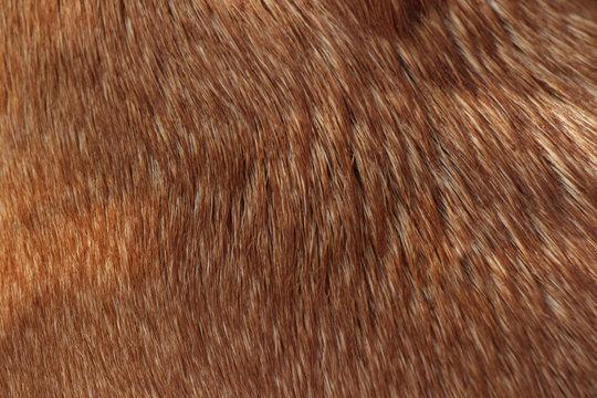 short hair texture - caramel dog