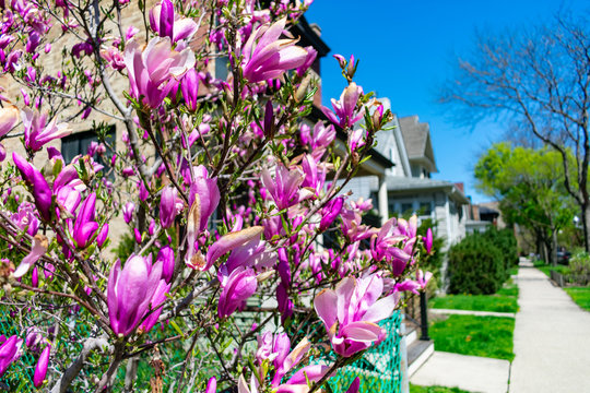 Beautiful Purple Flowers on a Sidewalk with a Row of Homes in Lincoln Square Chicago