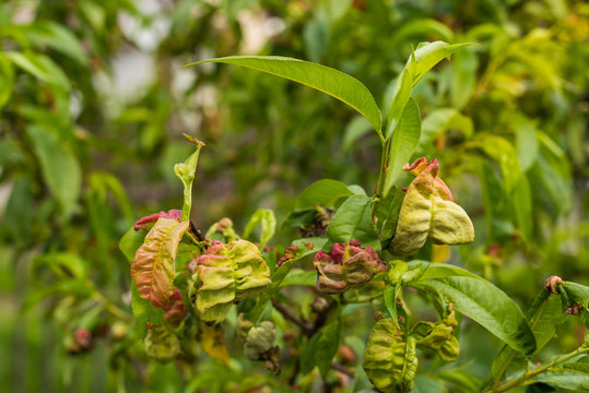 Peach leaf curl virus. The problem of the disease of fruit trees.