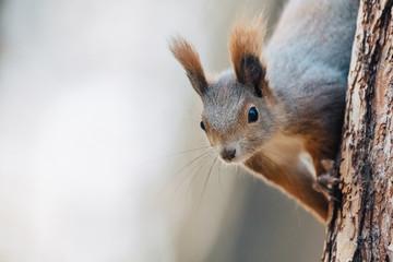 Portrait of a cute red squirrel (Sciurus vulgaris) Wall mural