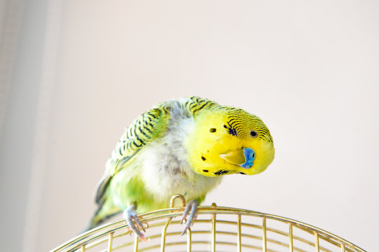 Domestic budgie parrot, poultry with health problem after moulting. A Budgerigar with plucked breast, without feathers.