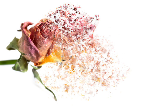 A pink rose disintegrating into particles and waving fibers.
