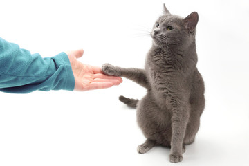 gray cat gives a paw in the palm of the person