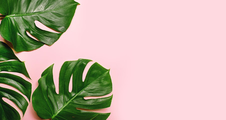 Tropical monstera leaves on pink background.
