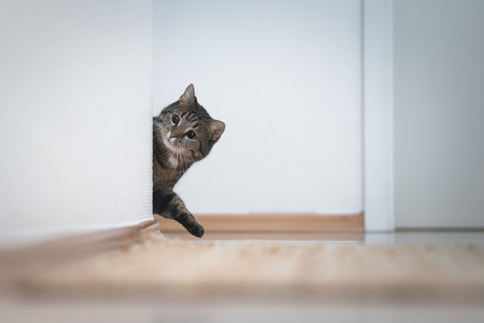 playful tabby domestic shorthair cat coming around the corner looking at white wall