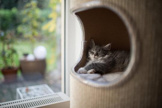cute blue tabby maine coon kitten sleeping in pet cave of a scratching barrel