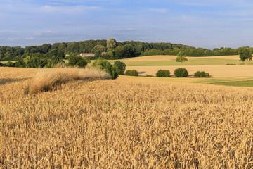 Weizenfeld bei Malente in Schleswig-Holstein, Deutschland
