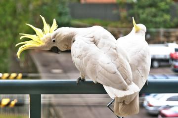 Amerous Australian Sulphur Crested Cockatoos close-up.