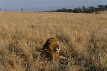 Fotobehang Afrika A large male lion with a full mane rests in the grasslands