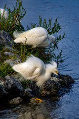 Snowy egrets at the bay