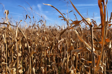 Close up of some dried stalks in a corn field.
