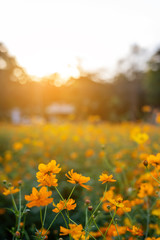 vertical image of orange and yellow cosmos flowers in garden field on evening time