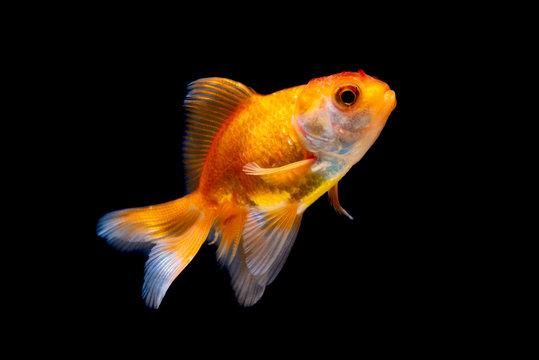 Gold fish or goldfish isolated on black background.