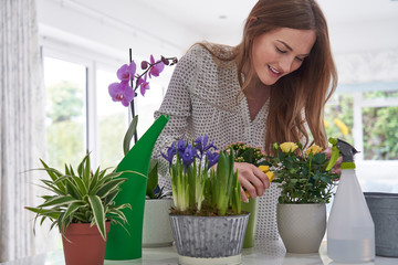 Young Woman Pruning Rose Houseplant With Secateurs At Home