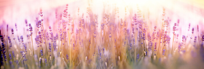 Selective and soft focus on lavender flower in flower garden