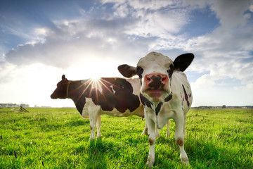 Wall Mural - two milk cows on sunny green pasture
