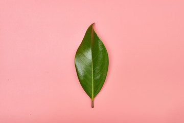 Magnolia leave on pink background, copy space, summer tropical
