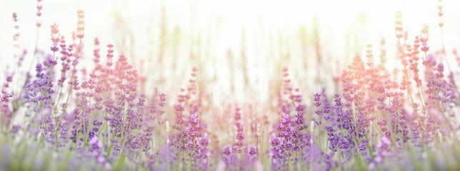 Lavender flower, selective focus on lavender flower in flower garden Wall mural