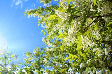 Branches of a flowering bird cherry against the sky. Spring landscape. Bird cherry spring