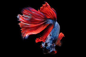 Wall Murals siam betta fish in thailand