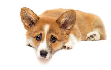 Wall Mural - little welsh corgi puppy looking