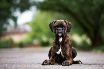 german boxer dog lying down on the road
