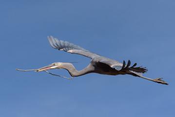 Colorado Wildlife - Great Blue Heron in Flight.