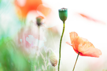 Poppies, the beginning of summer - Two layers