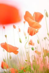 Poppies, the beginning of summer