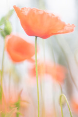 Poppies, the beginning of summer - photographed with a vintage lens
