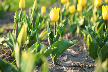 Field with fresh beautiful tulips. Blooming spring flowers