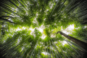 Fotobehang Bamboo Bamboo Forrest shot straight up into the sky with fish-eye lens.