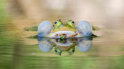 Fototapeten Frosch Frosch bei der Balz nahaufnahme