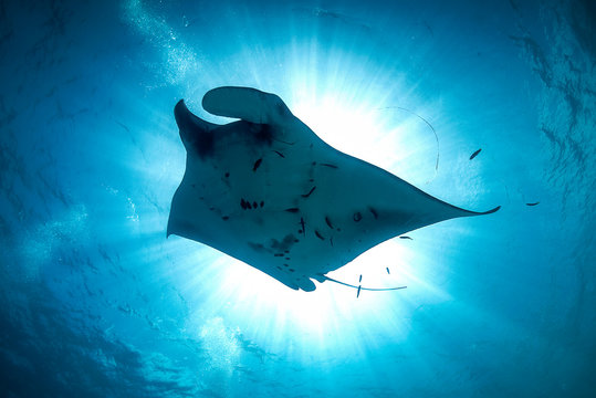 A beautiful manta ray in the sunburst in cystal clear blue water
