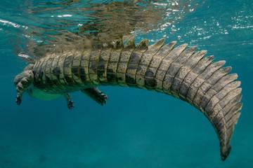 Poster Crocodile American crocodile underwater in Jardines de la Reina marine sanctuary, Cuba