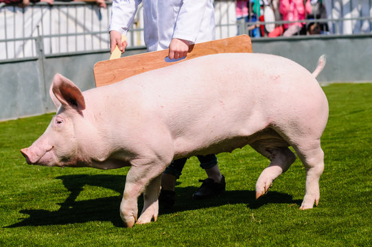 A young farmer shows an English White pig in a judging ring at an agricultural show.
